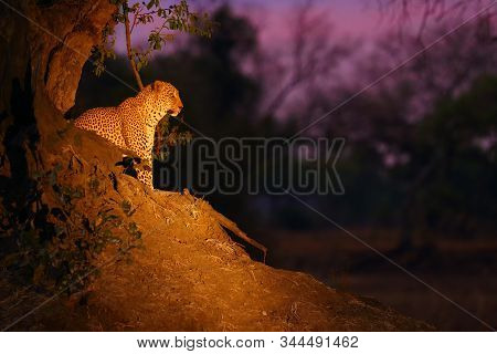 The African leopard (Panthera pardus pardus) big male in his territory in the last evening light. Big leopard sitting under red sky on termite mound.African atmosphere with big cat. stock photo