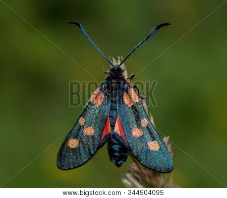 Close up of a spotted burnet moth stock photo