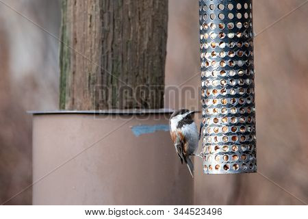 A picture of Chestnut-backed Chickadee perching on the feeder.    Vancouver BC Canada stock photo