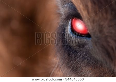Close-up on the big the glowing evil red eye of a demon or satan, animal, bull, bison, cow or horse with brown hair and reflection in the pupil. View of an endangered animal. stock photo