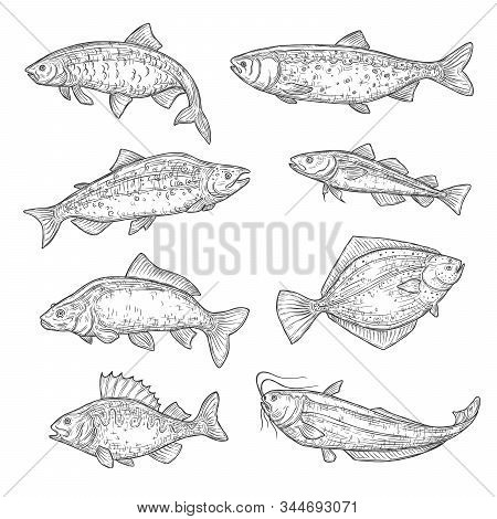 Vector sketches of sea and ocean fish animal. Salmon, tuna and perch, carp, trout and flounder, sheatfish, navaga and herring isolated fish sketch, sport or fish market theme stock photo