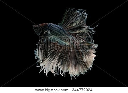 Colorful with main color of metal white and black betta fish, Siamese fighting fish was isolated on black background. Fish also action of turn head in different direction during swim. stock photo