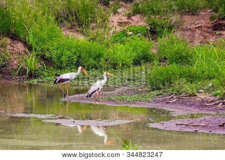 Gorgeous African Yellow - billed stork graze near the shore of a stream. Safari in Masai Mara National Park, Kenya. Ecological, active and phototourism concept stock photo