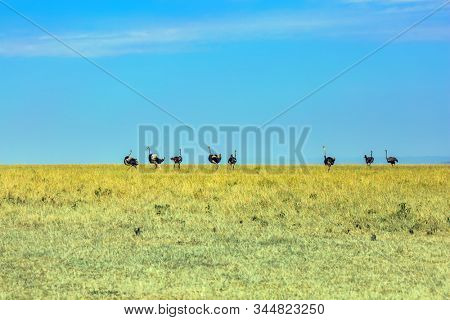 Safari in Masai Mara National Park, Kenya. Gorgeous African Ostriches looking for food. Magnificent trip to the African savannah. Ecological, active and phototourism concept stock photo