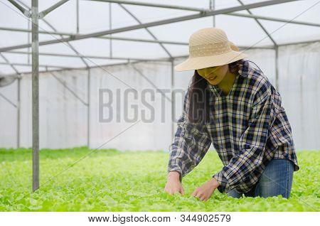 young asian woman farmer harvesting fresh green oak lettuce salad, organic hydroponic vegetable in greenhouse garden nursery farm, agriculture business, organic vegetable farm and healthy food concept stock photo