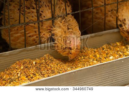 young quail fattening in cages on a quail farm stock photo