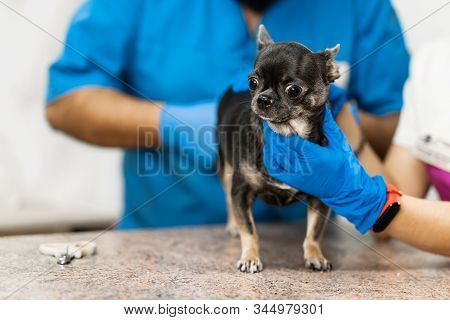 Veterinarians clean the paraanal glands of a dog in a veterinary clinic. A necessary procedure for the health of dogs. Pet care stock photo