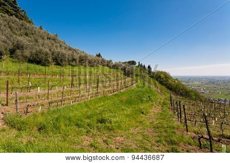 Agricolture rows of wine and olive trees Marostica hills Italy stock photo
