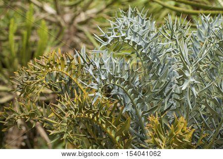 The Eastern Cape Blue Cycad (Encephalartos horridus) plant in a Blanes Botanic Garden. stock photo