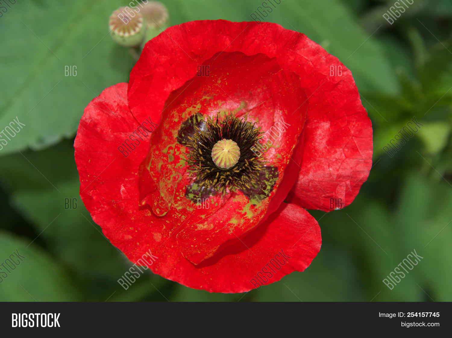 Close Up Of One Red Poppy Flower A Poppy Is A Flowering Plant In