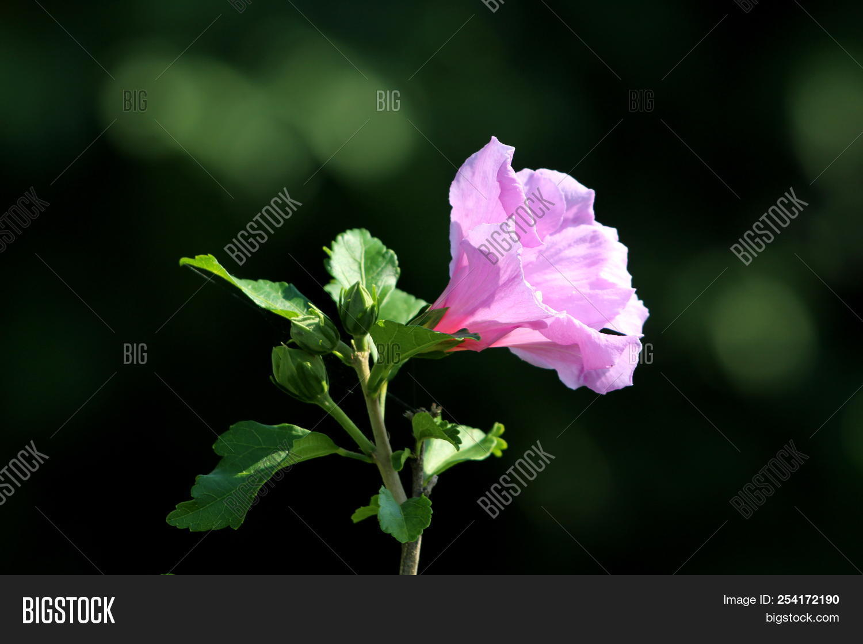 Hibiscus syriacus or rose of sharon or syrian ketmia or rose mallow hibiscus izmirmasajfo