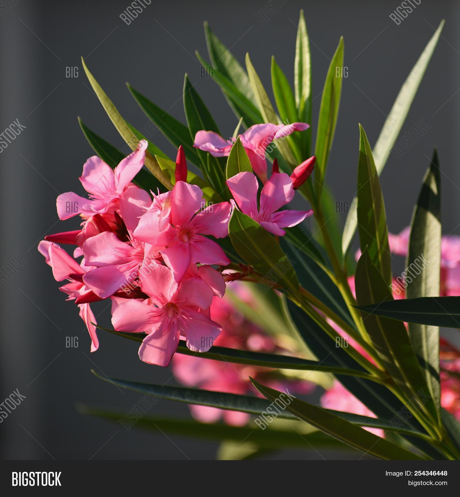 Beautiful Flowering Pink Oleander A Poisonous Nice Plant In The