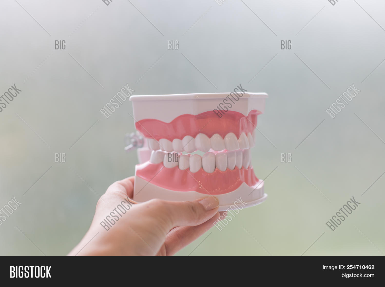 Plastic Human Teeth Models Isolated On White.plastic Medical Model Of Teeth.concept Of Oral Health,
