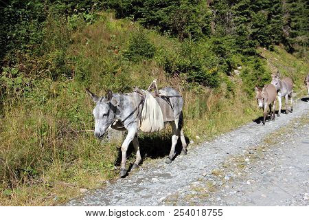 Grey donkey carrying a bag, followed by baby donkeys -  animals used for work stock photo