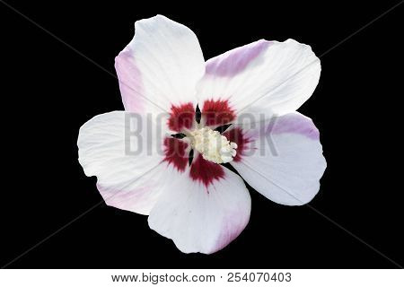 Hibiscus syriacus rose of Sharon 'Mathilde' white flower with red eye and pink smear isolated on black. stock photo