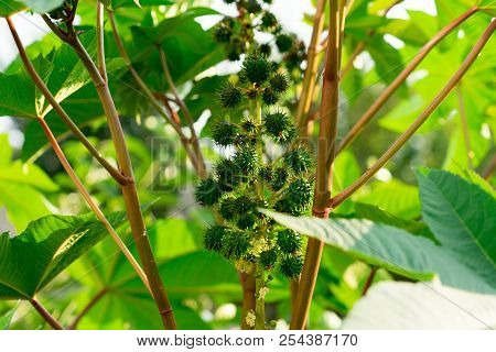 Plant castor oil plant. Photo of the fruit close-up. stock photo