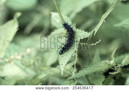 Caterpillar of the peacock butterfly crawls along the nettle leaf (Aglais io) stock photo