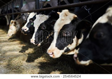Long row of dairy black and white cows eating fresh hay in contemporary farm stock photo