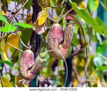 nepenthaceae, nepenthes, two flower plants, brownish color with yellow specks on the background of leaves at the end of summer, genus of predatory plants stock photo
