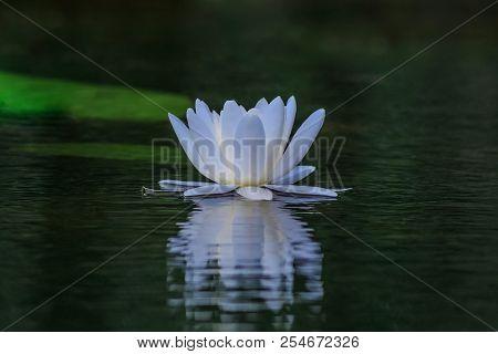 european white water lilly (nymphaea alba) in Danube Delta, Romania stock photo