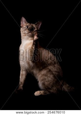 Tortie point Siamese cat swatting at something in the air, with her paw up, on dark backgrund stock photo