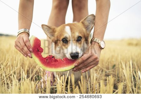 pembroke welsh corgi dog eating summer water melon from the hands of the owner in field stock photo