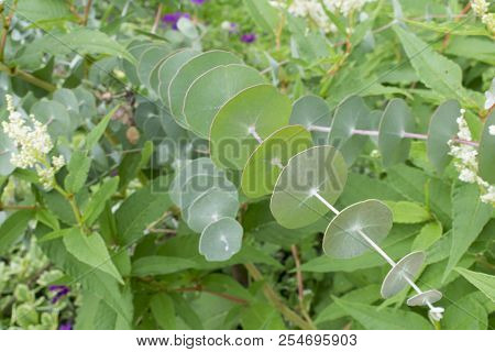 Eucalyptus of the family of Gunnii, surrounded by flowers eucalyptus composed of ancient Greek EU (good) and KALYPTO (covered), because the calyx remains closed even after flowering stock photo