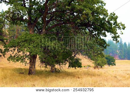 Oak Tree on a rural field taken at the rural rolling hills of Northern California stock photo