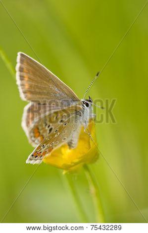 Alpine Heath on a yellow flower, side view stock photo