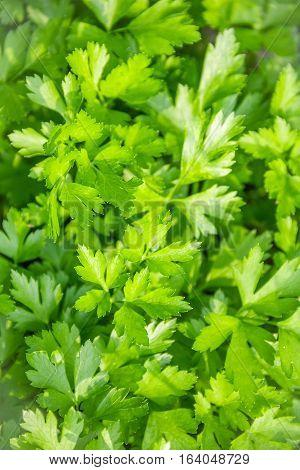 Green Grass Parsley In The Garden Close Up-Lg Fridge Magnet Skin (size 36x65)