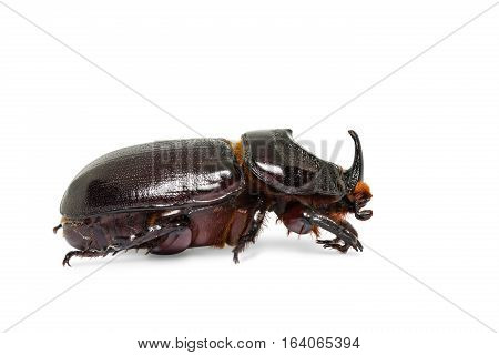 Close up of rhinoceros beetle (Oryctes gnu or Oryctes trituberculatus) isolated on white background with clipping path stock photo