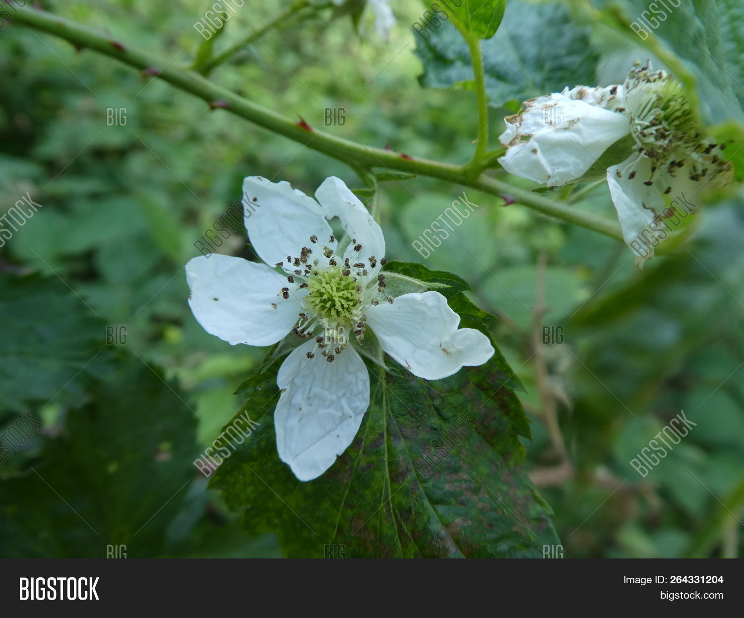 White,blossom,brambleberry,forest,fruit,sweet,wild
