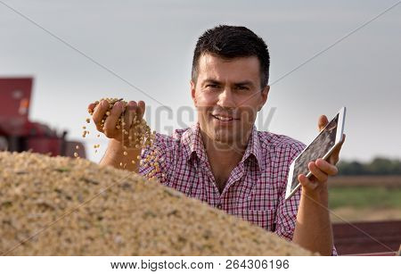 Satisfied handsome farmer holding soybean grains in hand in trailer after harvest stock photo