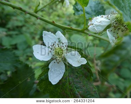 White blossom of a brambleberry in the forest stock photo