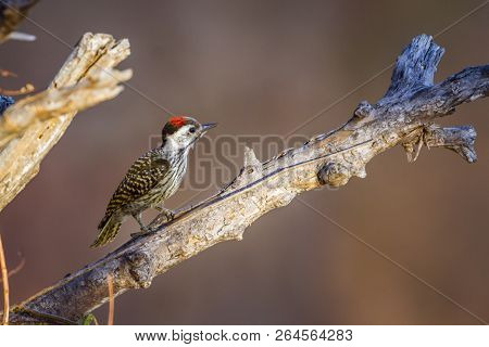 Cardinal Woodpecker in Kruger National park, South Africa ; Specie Dendropicos fuscescens family of Picidae stock photo