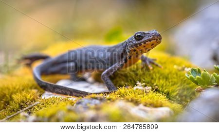Alpine newt (Ichthyosaura alpestris) side view on moss and rocks in natural mountain environment stock photo