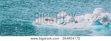 Alaska glacier bay harbor seals on iceberg floating nearby glaciers on on blue sea. Cruise ship to Glacier Bay National Park view panorama banner. marine wildlife . stock photo