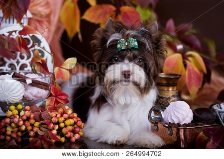 Biewer Yorkshire Terrier chocolate color stock photo