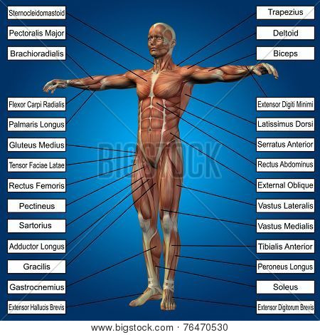 Concept or conceptual 3D male or human anatomy, a man with muscles and text on blue gradient background stock photo
