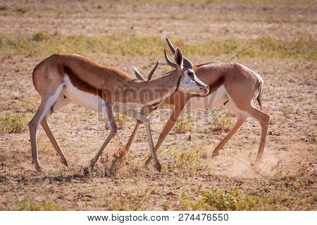Two dominant Springbok rams fighting over territory. stock photo