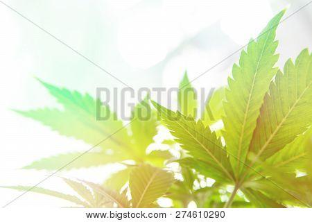 Planting cannabis. Grow legal Recreational cannabis. Cannabis flower Indoor growing. Marijuana business. Northern light strain. Grow in grow box tent. stock photo