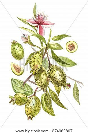 Watercolor illustration feijoa plant. Hand drawn watercolor painting on white background. Watercolor background with feijoa fruit, leaves and feijoa slice. stock photo