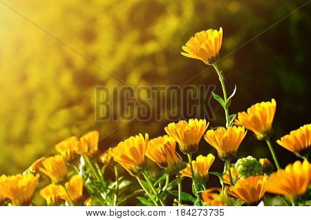Spring field flowers landscape with bright orange flowers of spring calendula under sunset light. Selective focus at the upper spring flower. Natural flowers spring background. Spring flowers landscape with space for text.Blooming spring Calendula flowers