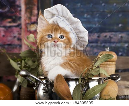 Kitten in a cook's cap, Cat cook stock photo