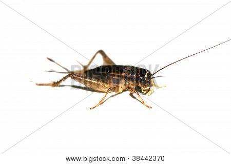 Gryllus bimaculatus cricket isolated on white background stock photo