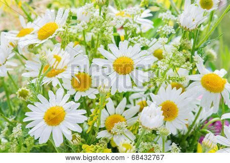Daisies covered dew drops