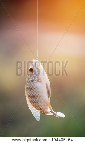 Nile tilapia fish (Oreochromis nilotica) hanging on hook with flare light stock photo