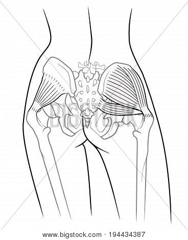 The internal structure of the pelvic girdle female skeleton and gluteus minimus muscle gluteus medius muscle and piriformis rear view. On a white background stock photo