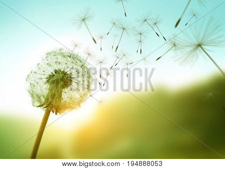 Dandelion seeds blowing in the wind across a summer field background conceptual image meaning change growth movement and direction.