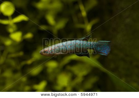 Scriptaphyosemion Guignardi Mamou is a rather rare killifish with a greenish coloration. stock photo